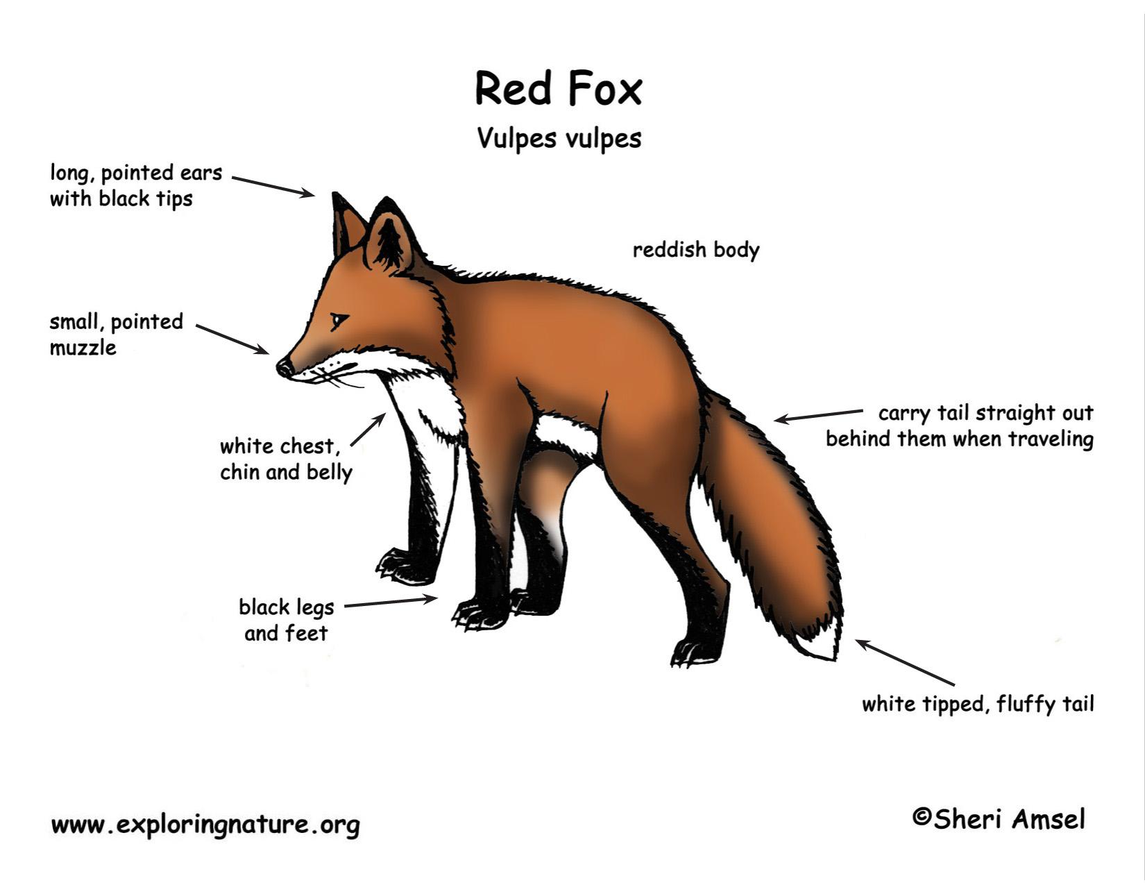 Fox | Annie-mal website