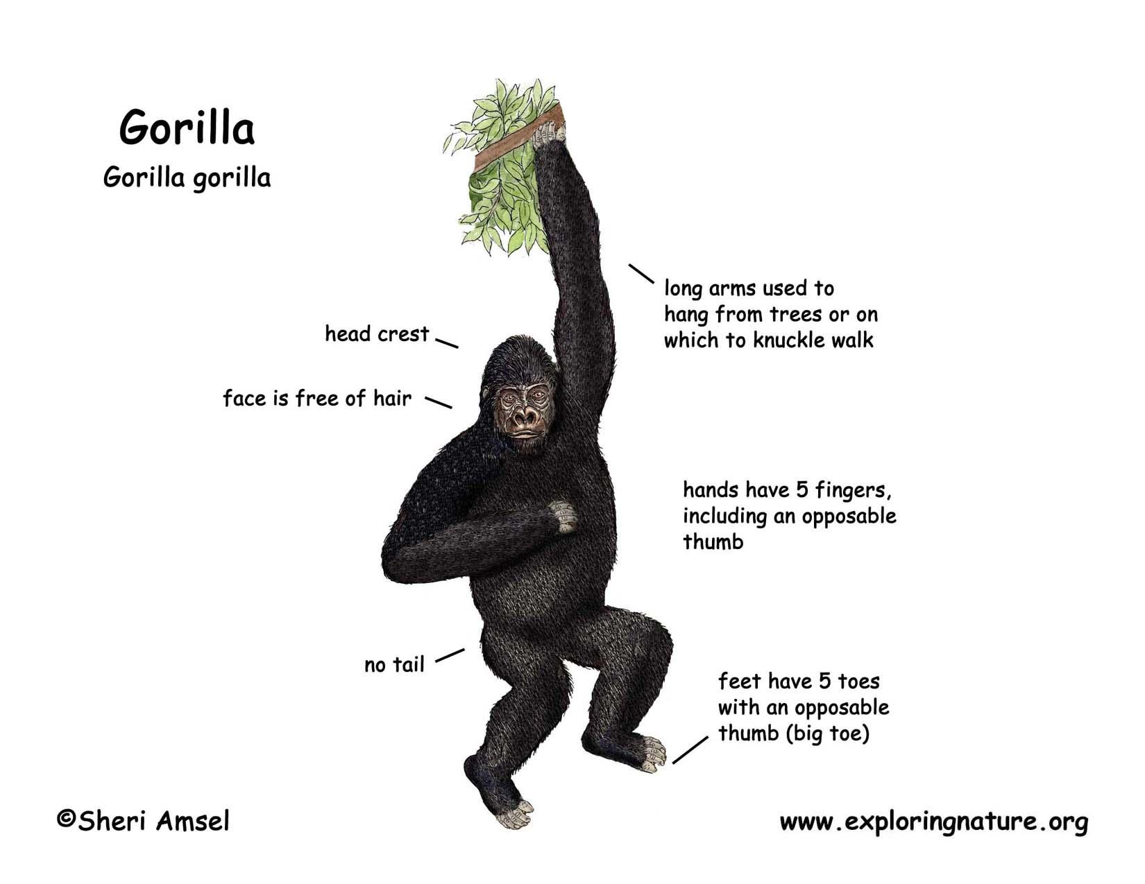 Coloring pages gorilla - Download Hi Res Color Diagram Gorilla