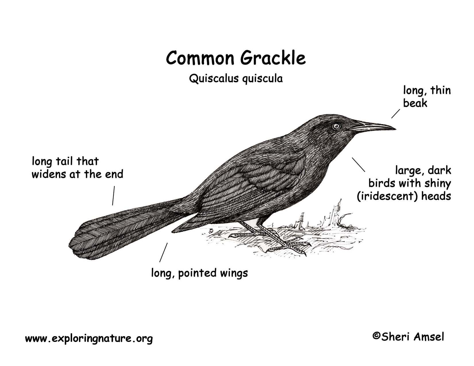 Download Hi Res Color Diagram Grackle Common