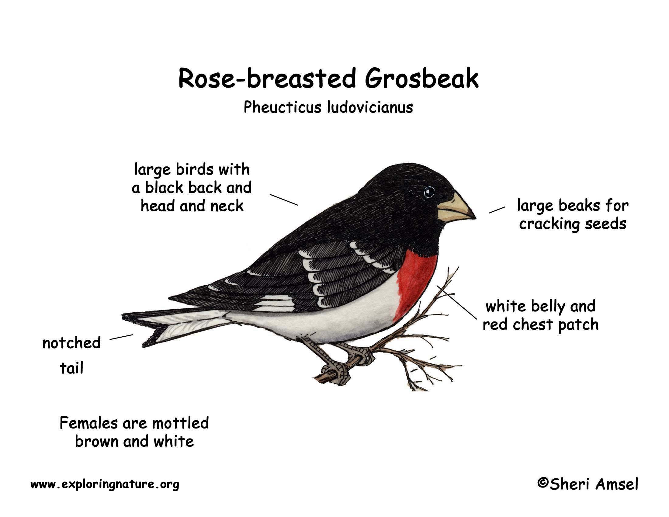 grosbeak  rose