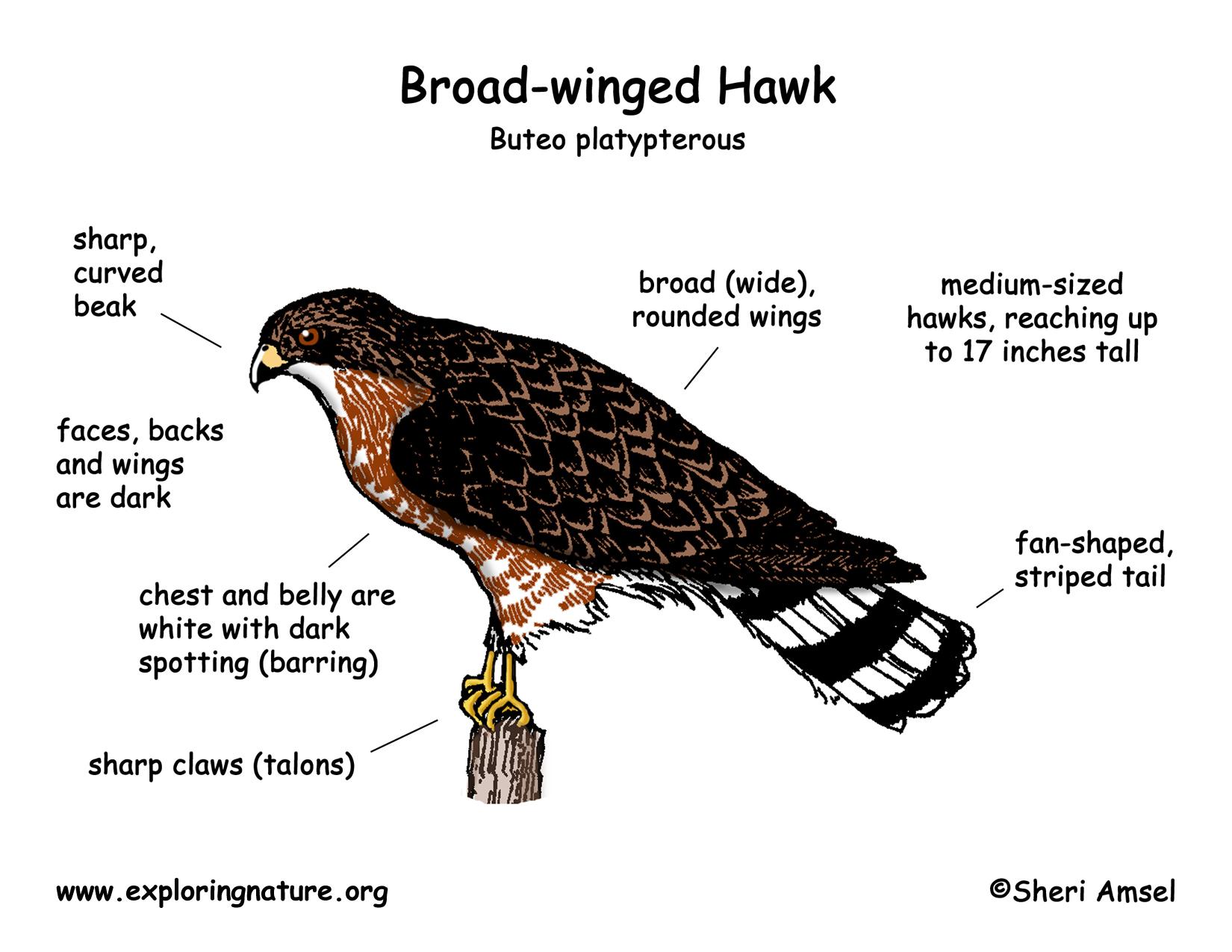 hawk (broad-winged)  exploring nature