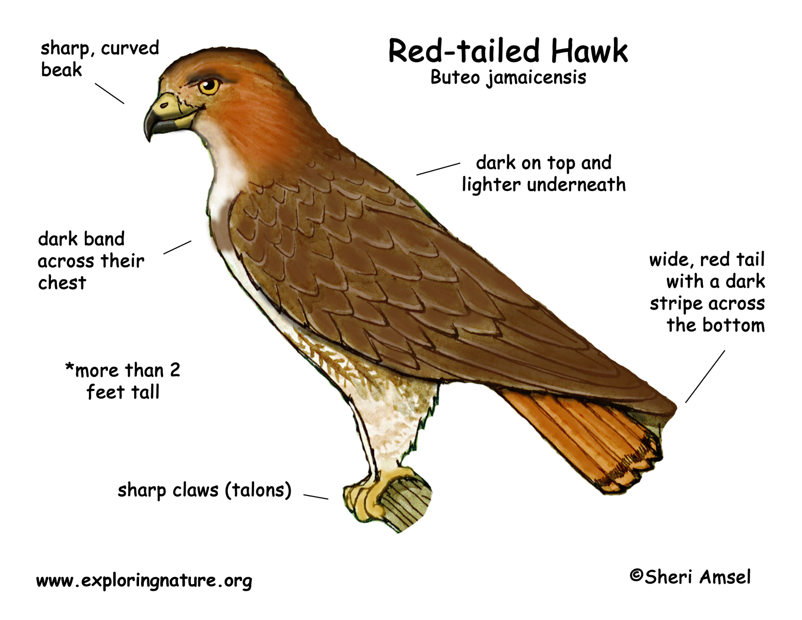hawk (red-tailed)  exploring nature