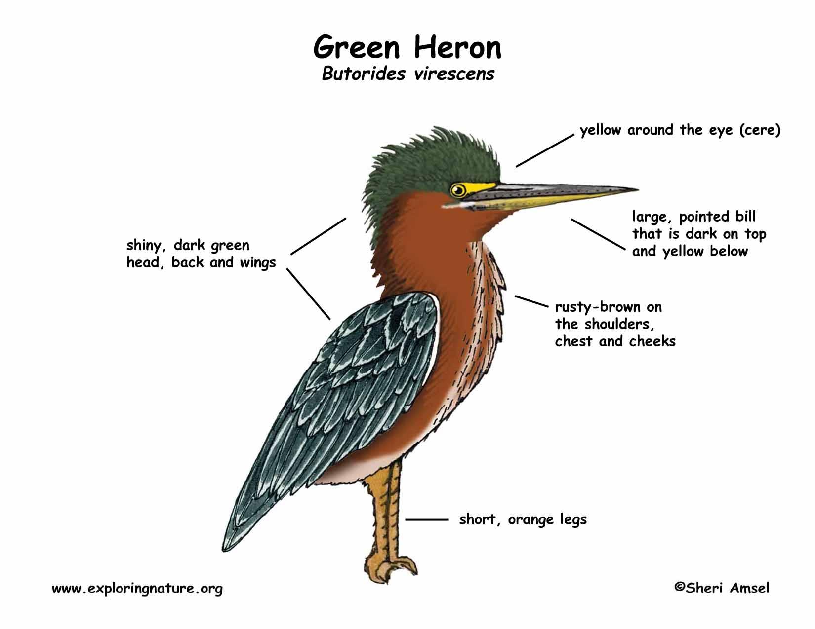 heron green