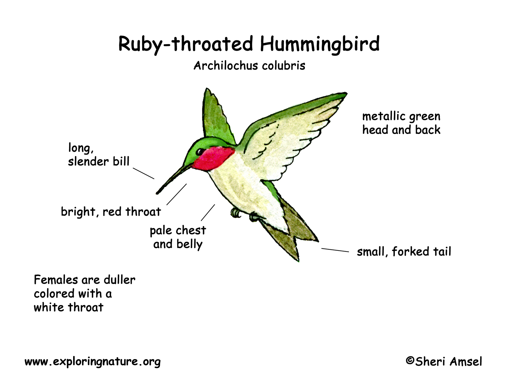 hummingbird  ruby