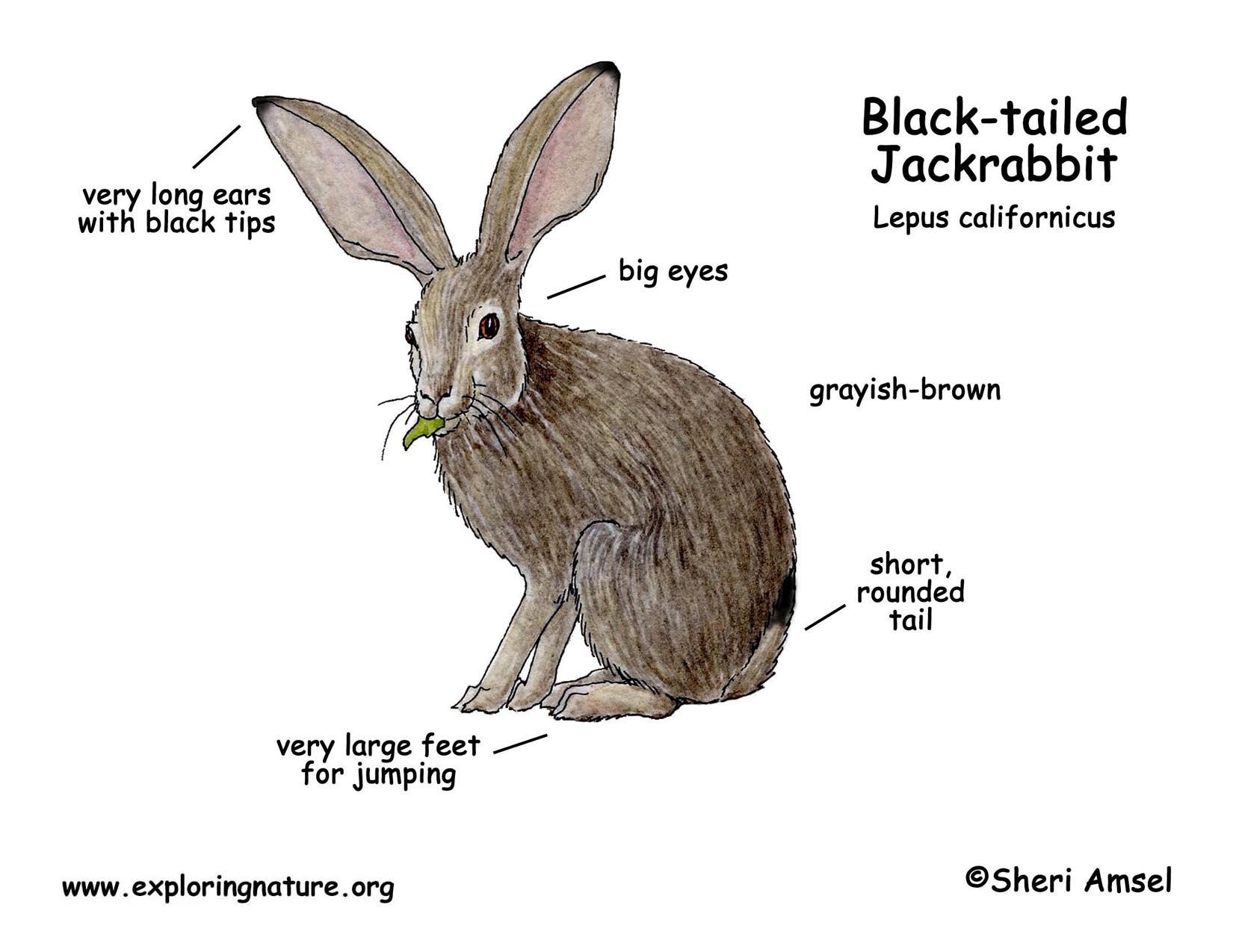 Jackrabbit black tailed for Jack rabbit coloring page