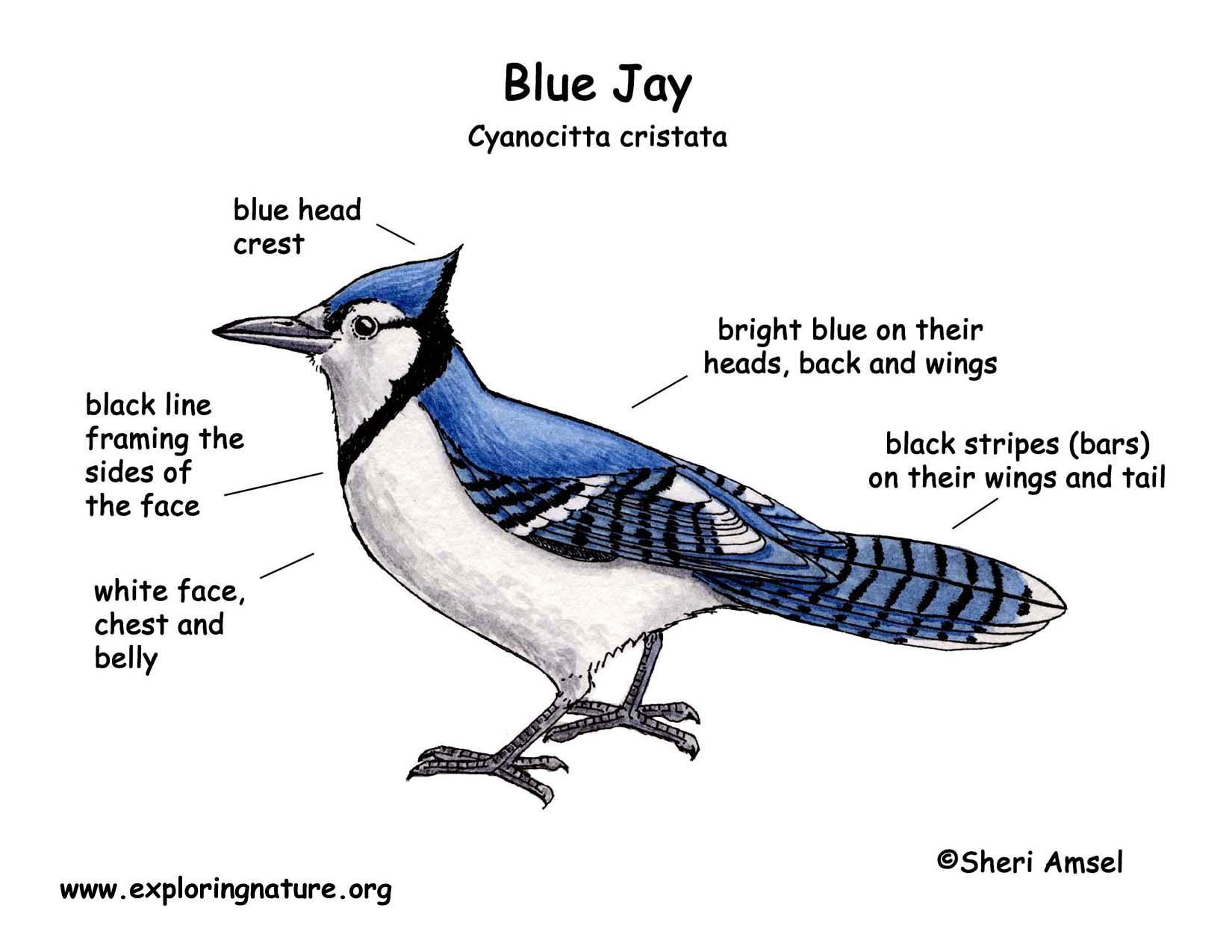 jay blue color diagram jpg