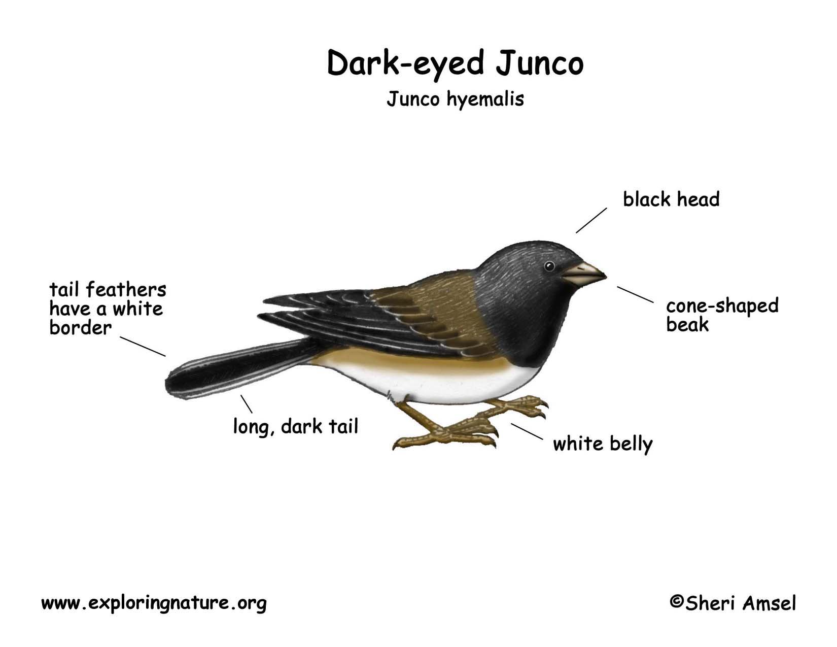 junco  dark