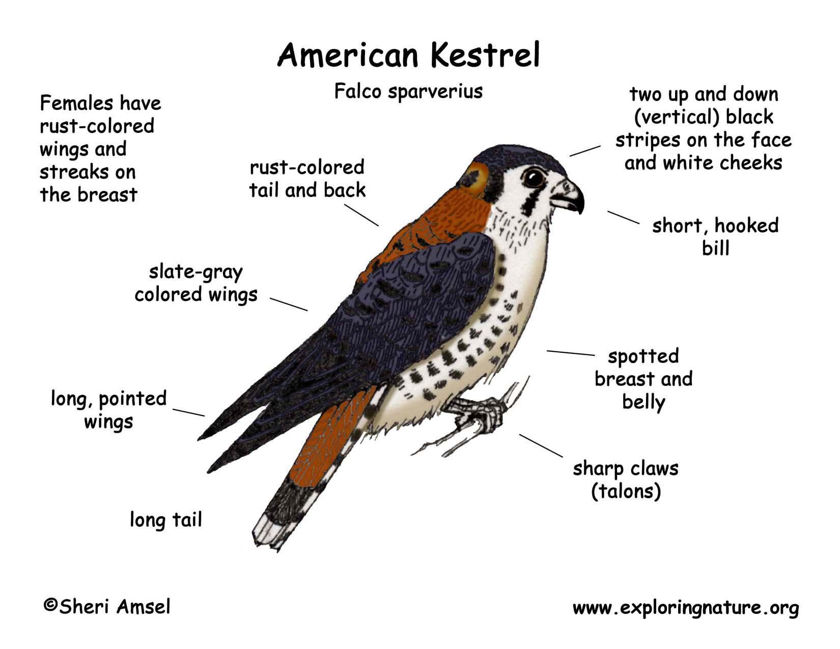 Kestrel  American