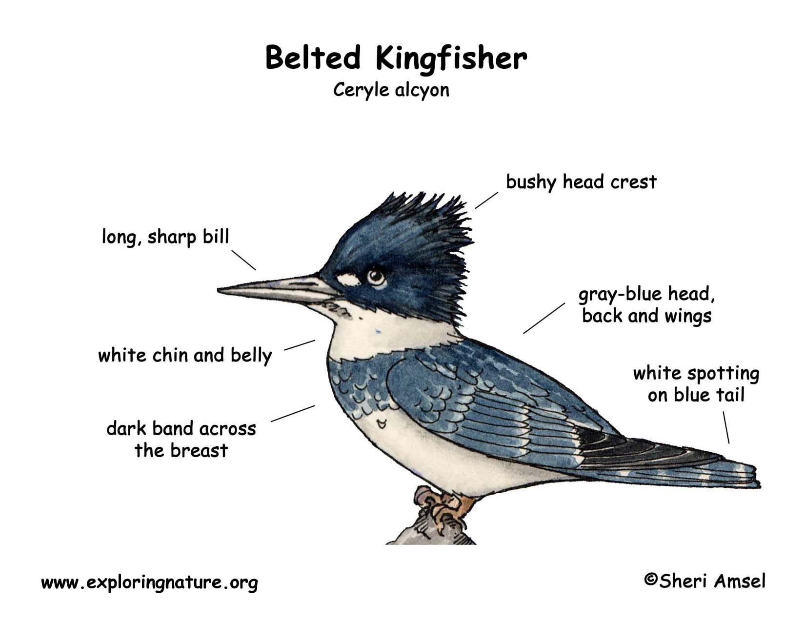 kingfisher  belted