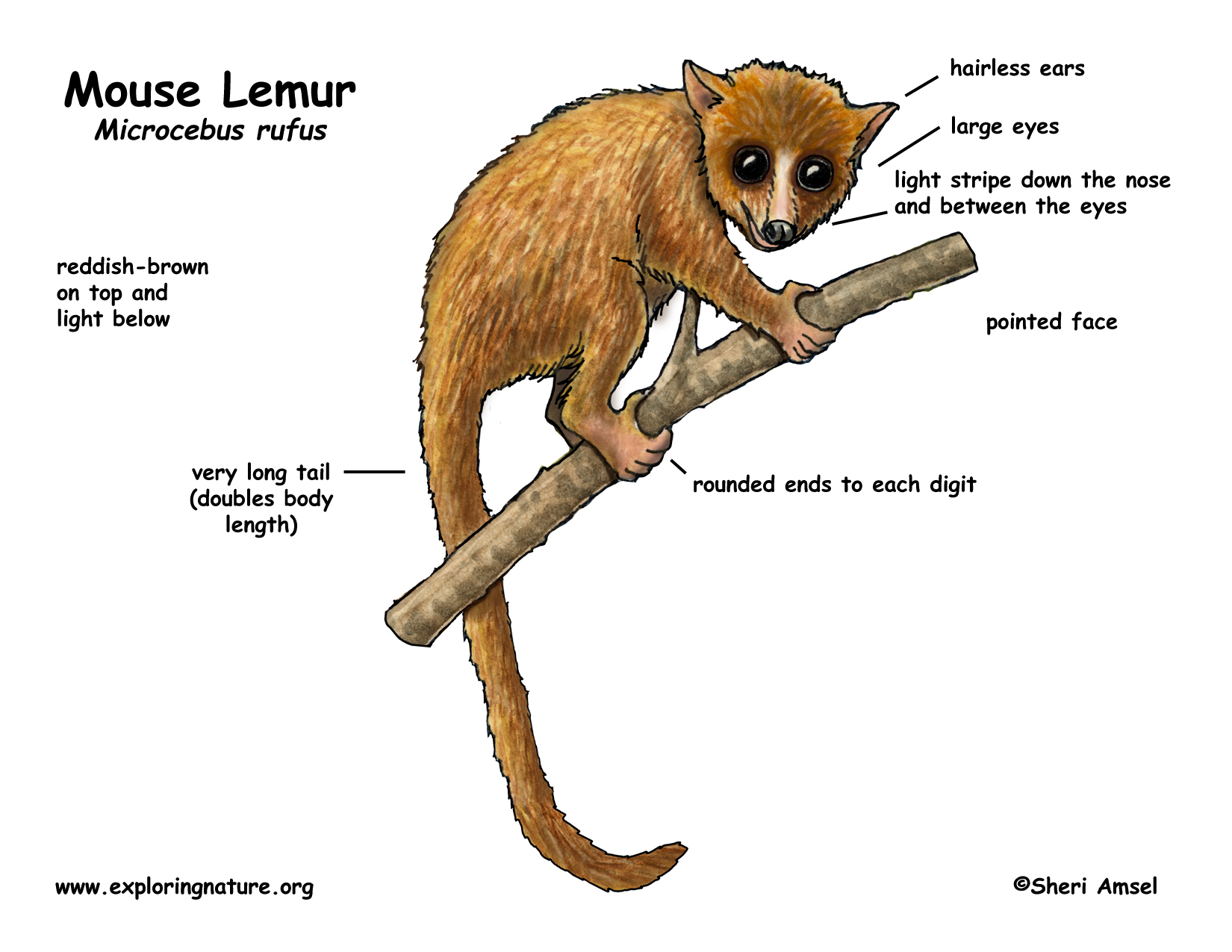 Image Gallery Lemur Diagram