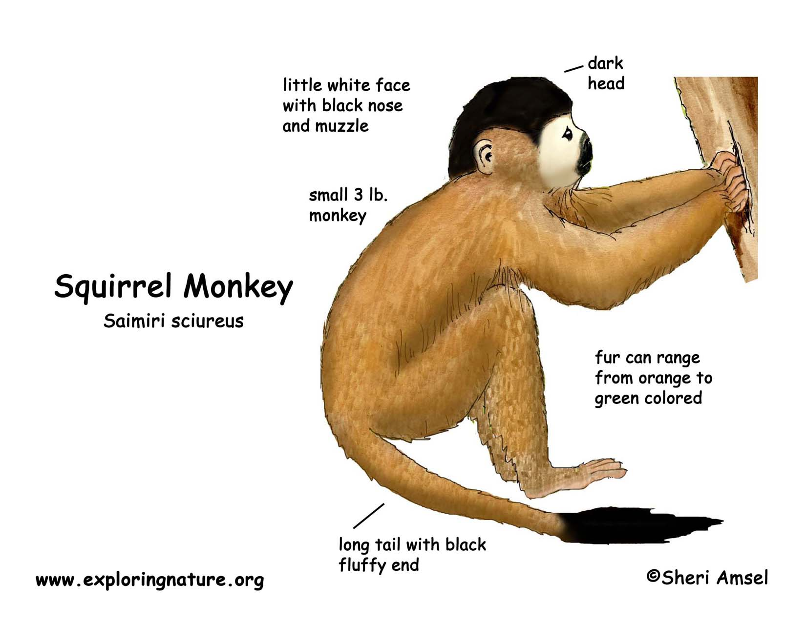 Download Hi Res Color Diagram Monkey Squirrel