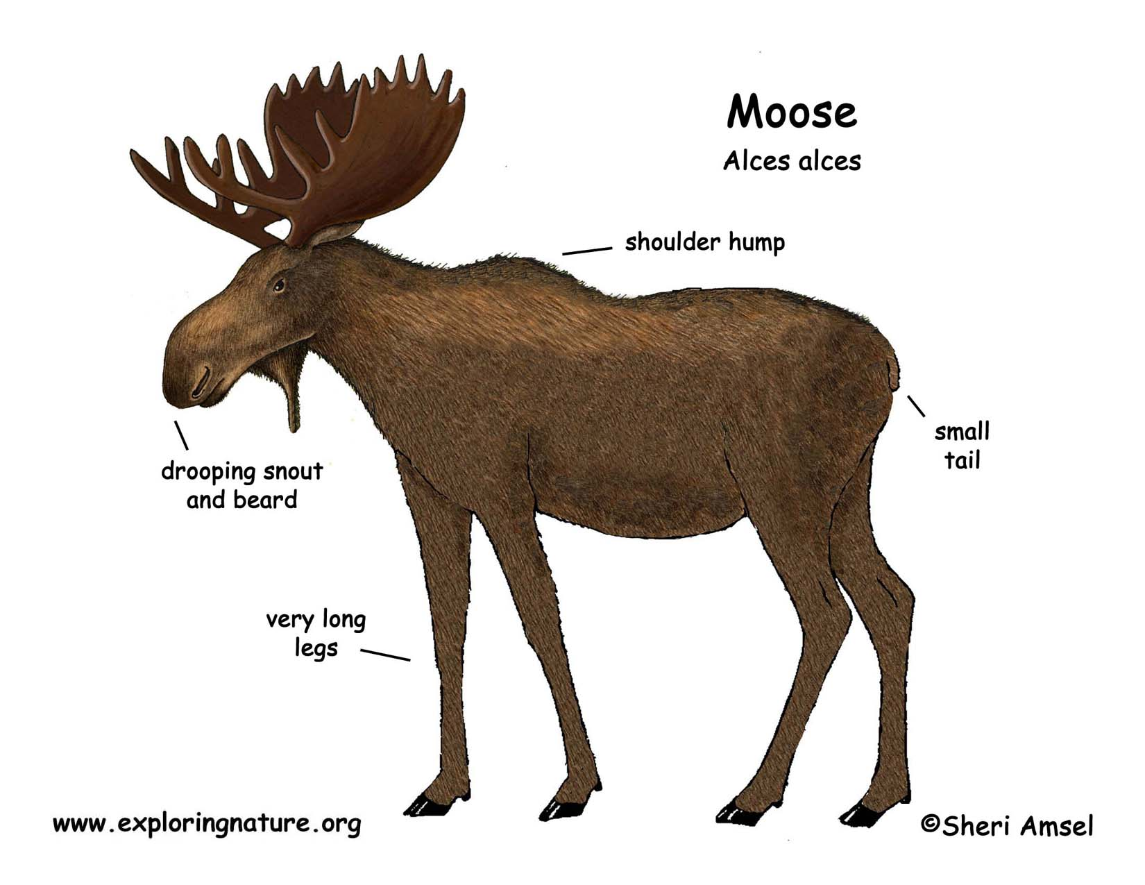 Anatomy of a moose