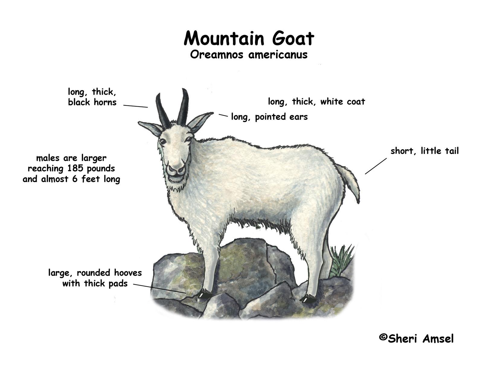 Pygmy Goat Anatomy