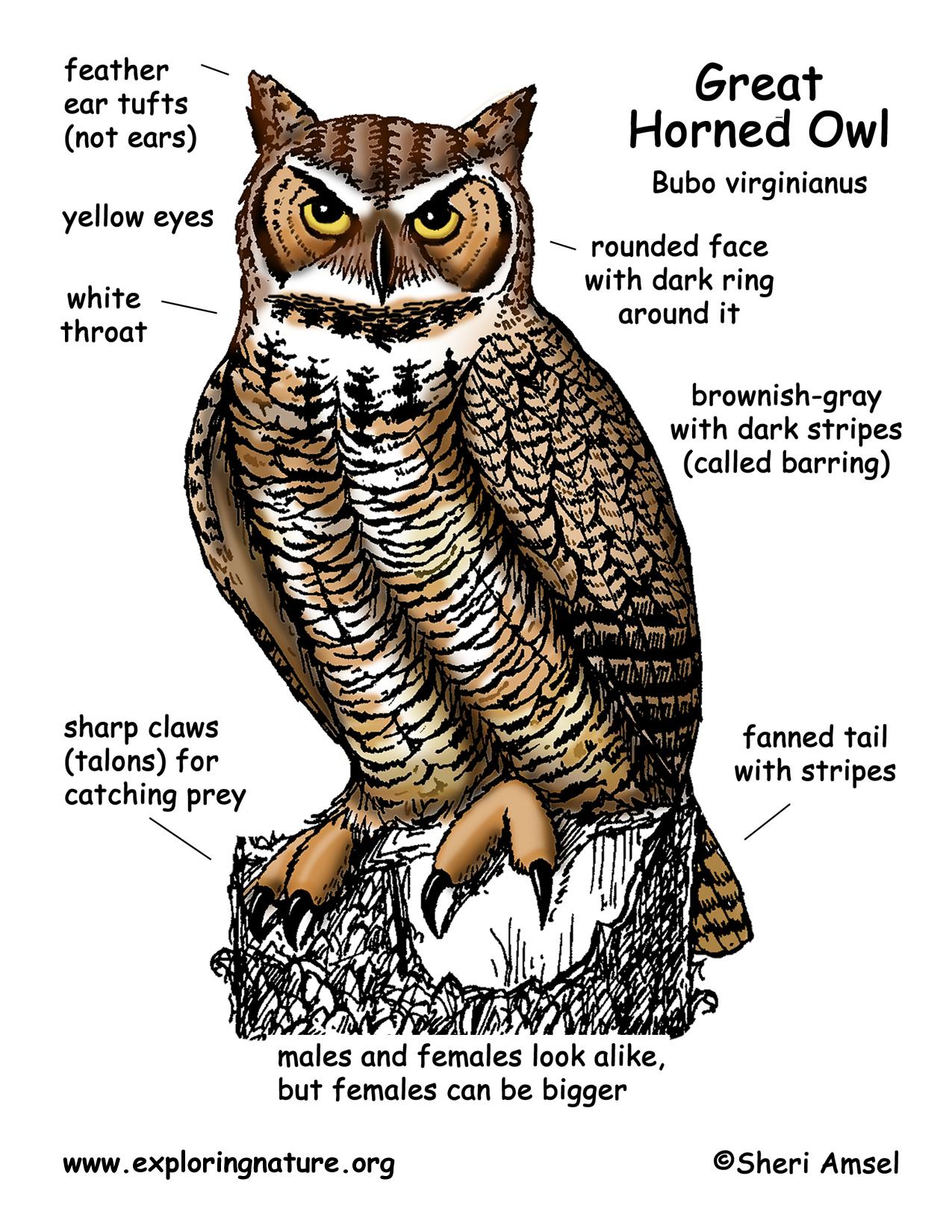 Download Hi Res Color Diagram Owl Great Horned
