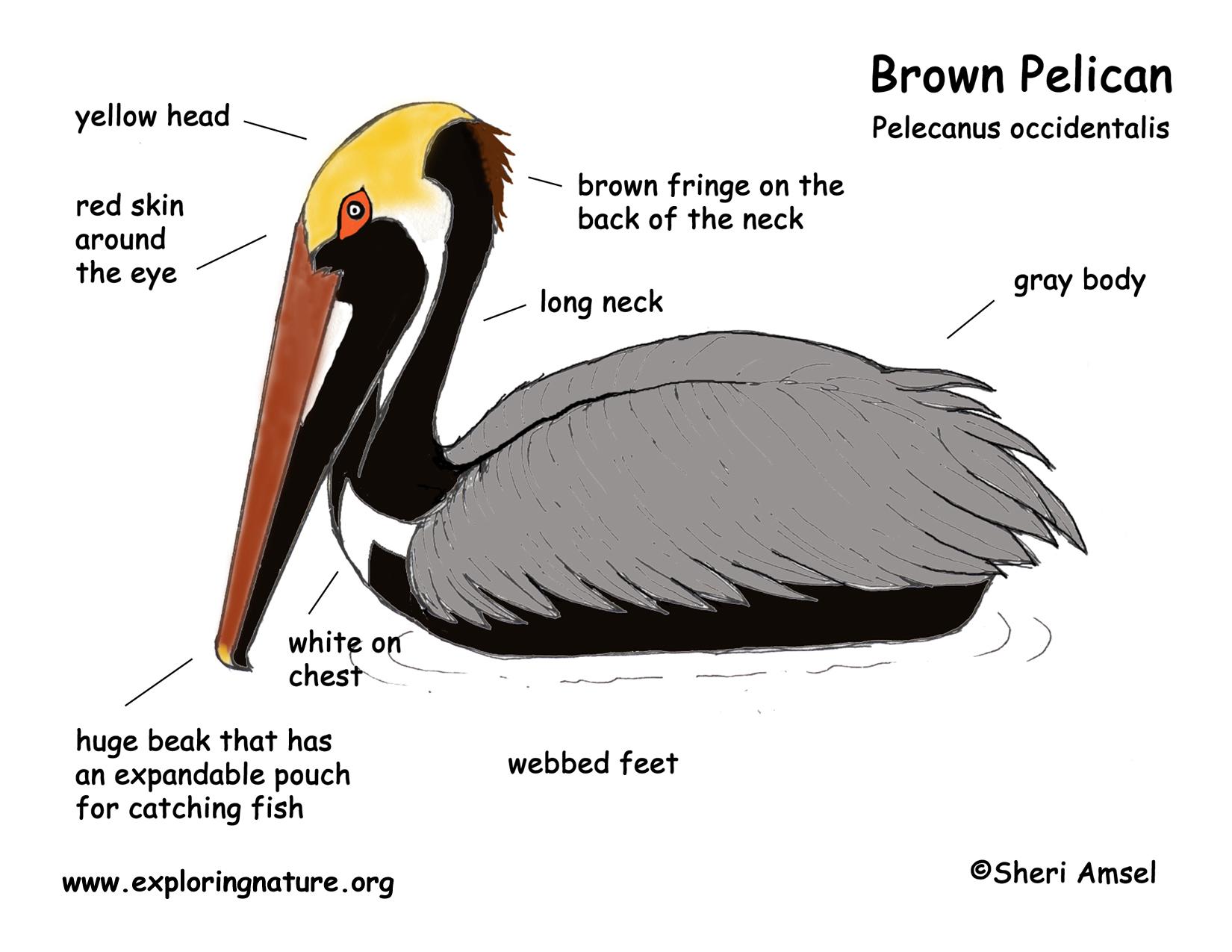 pelican (brown) Brown Pelican Diagram Deepwater Horizon download hi res color diagram pelican (brown)