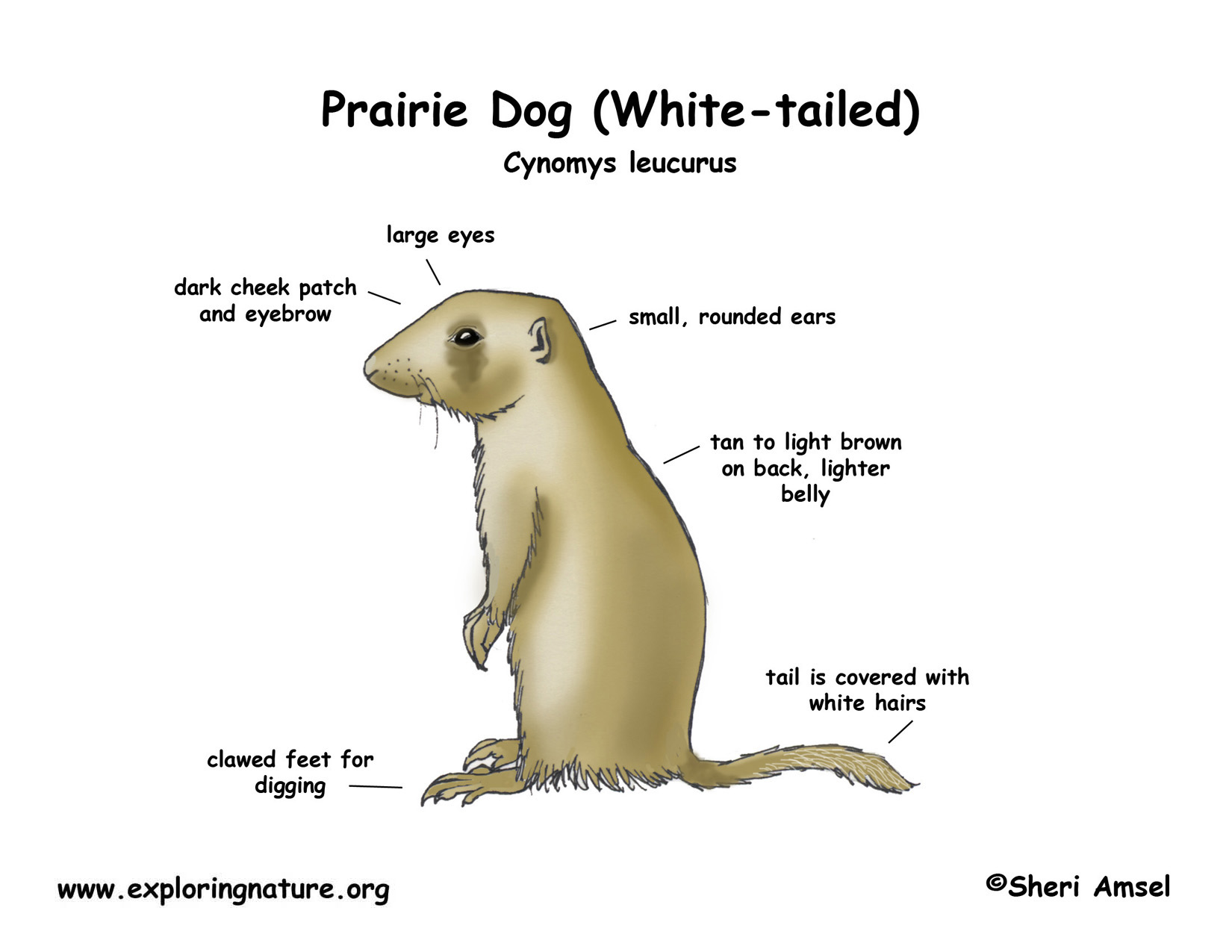 Prairie Dog (White-tailed)