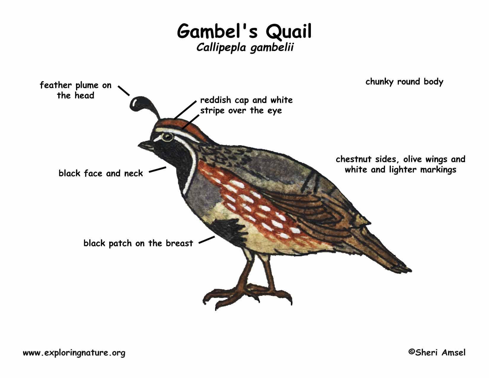 Quail  Gambel U0026 39 S