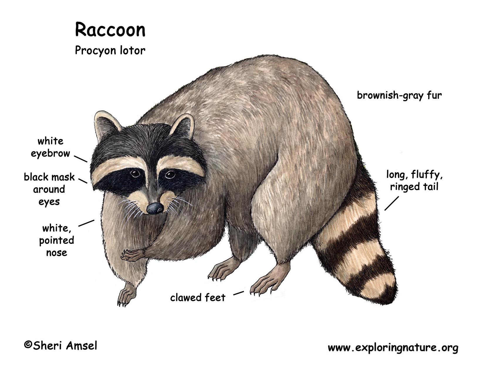 Diagram Of A Raccoons Body Body - Find Wiring Diagram •