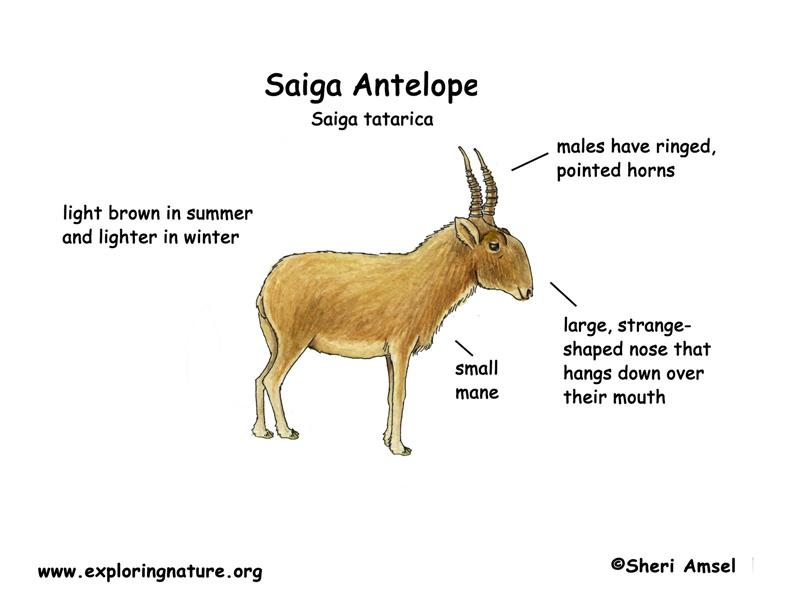 saiga antelope body diagrams and habitat posters