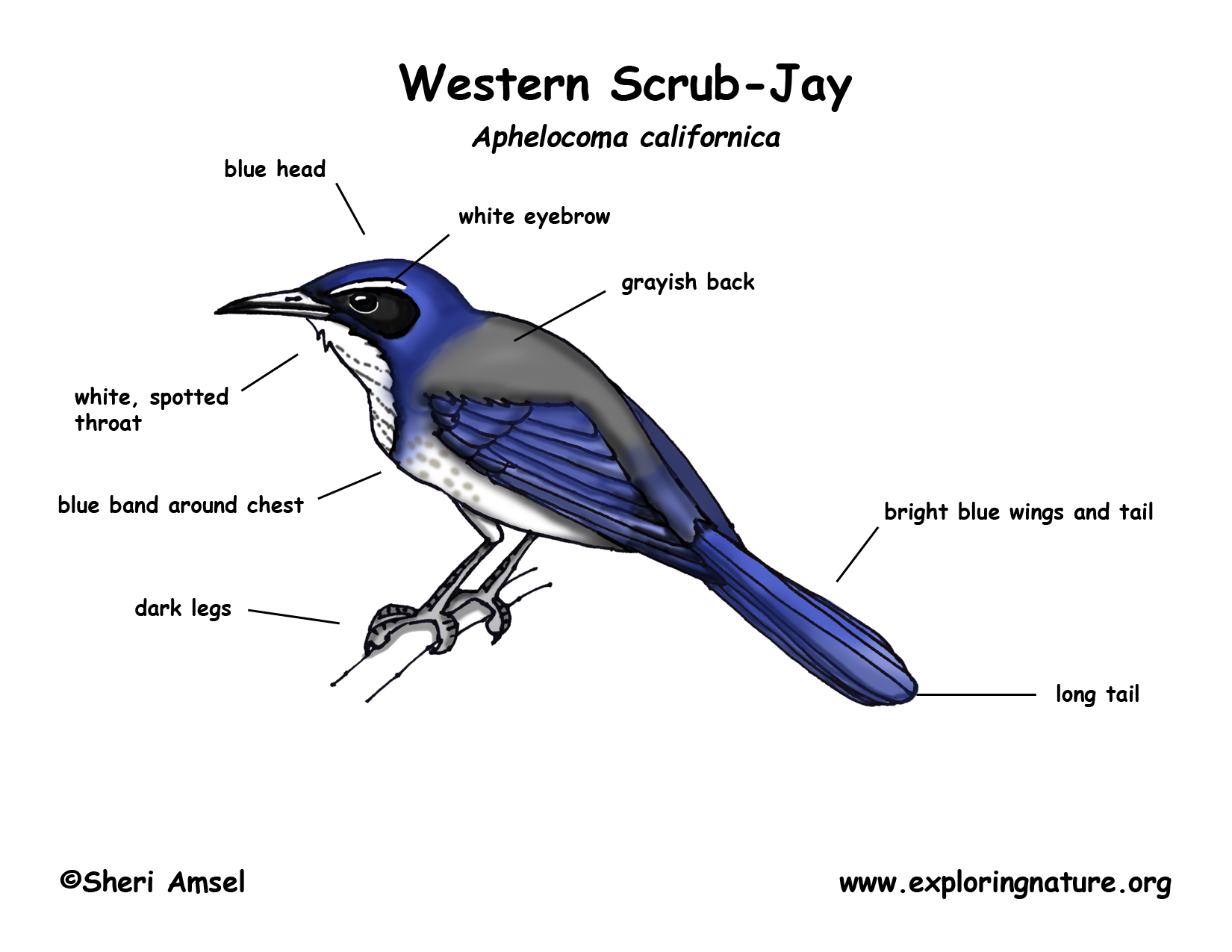 Diagram Of A Blue Jay Bird - Wiring Library •