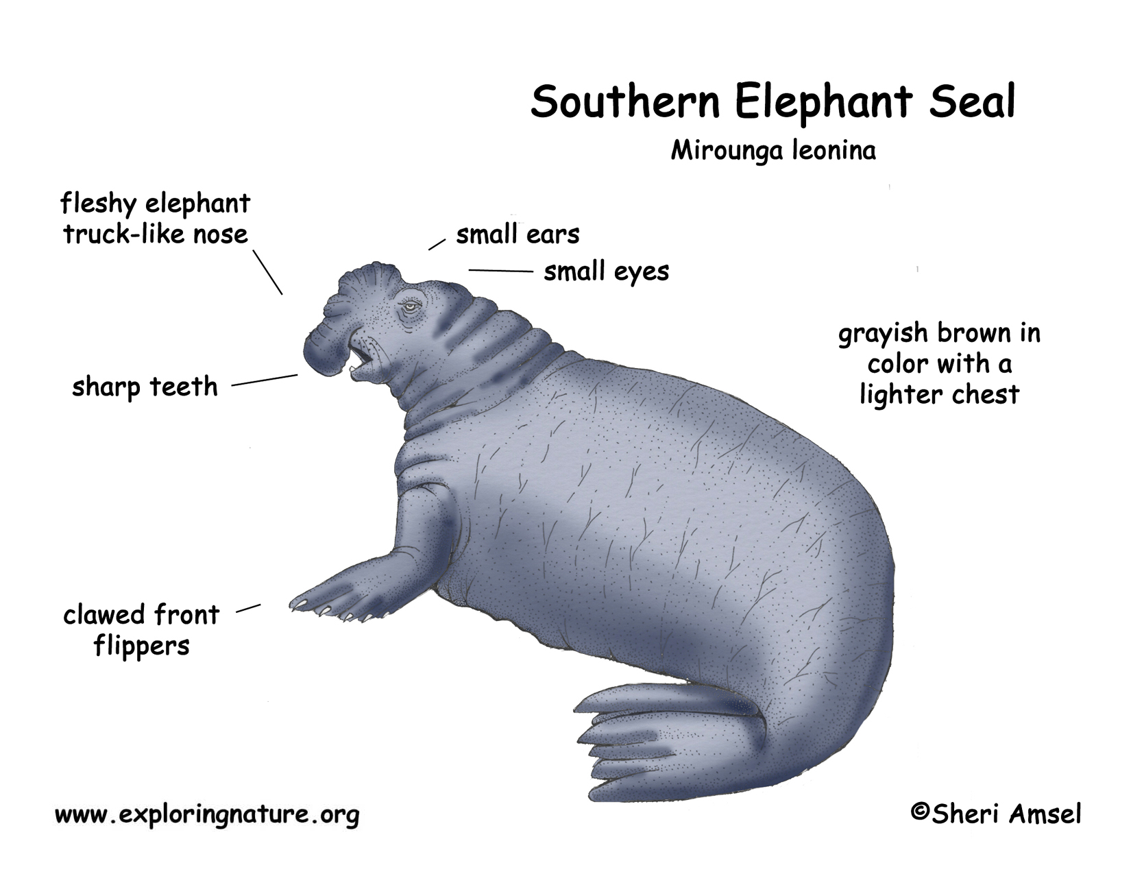 Seal southern elephant download hi res color diagram ccuart Image collections