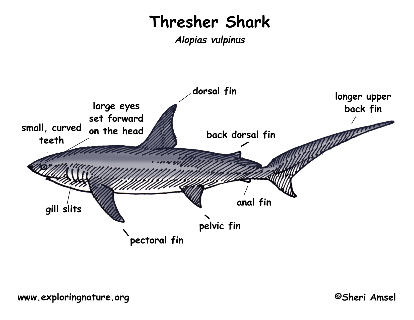 External Anatomy Of A Dogfish Shark Choice Image - human body anatomy