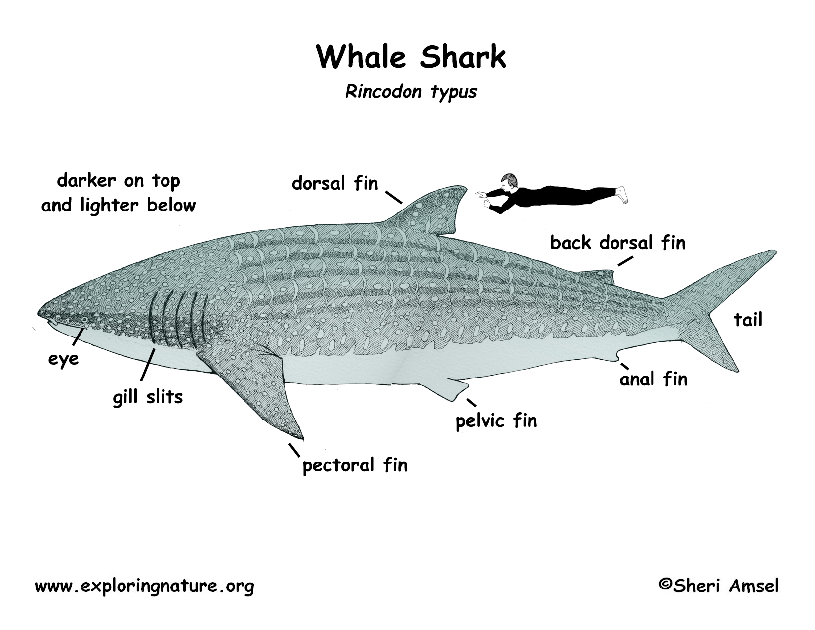 Shark whale download hi res color diagram pooptronica