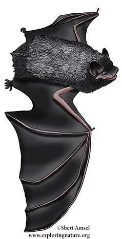 Silver-haired Bat, Lasionycteris noctivagans