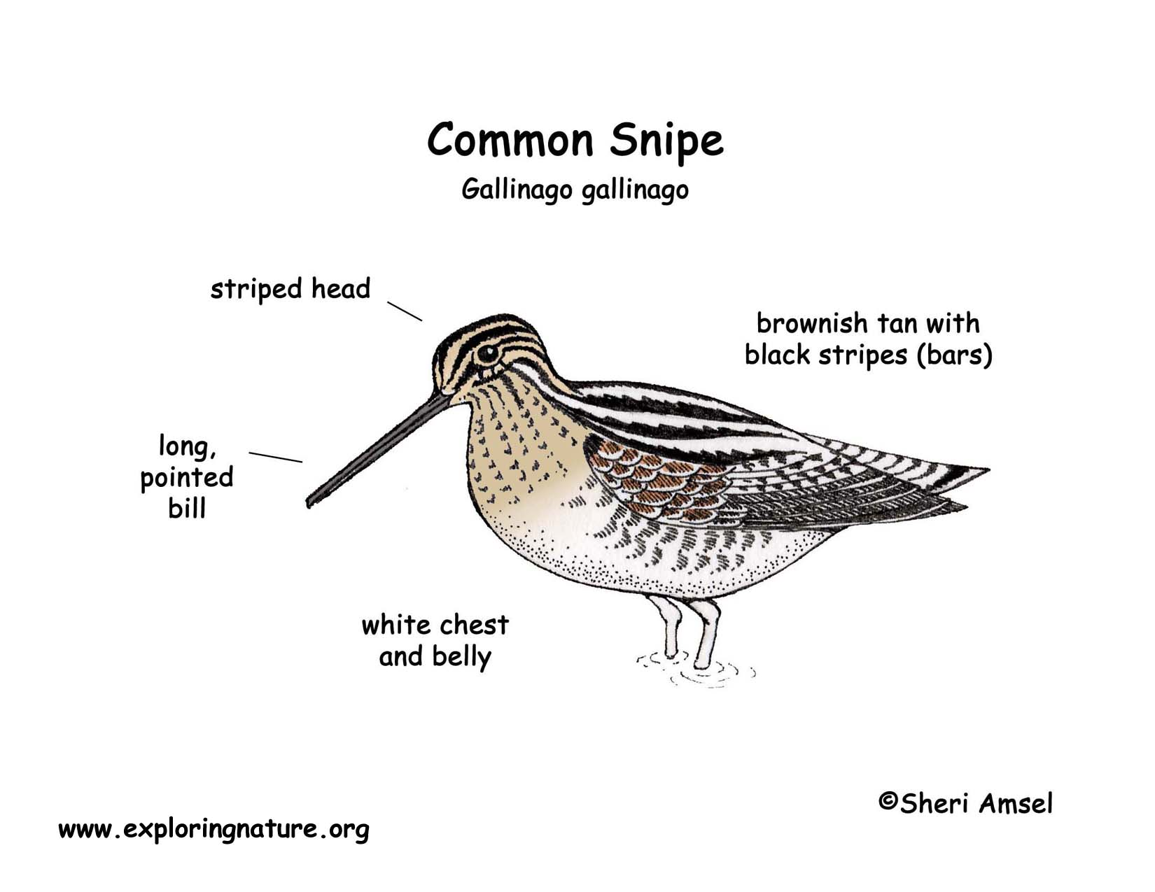 how to catch a snipe bird