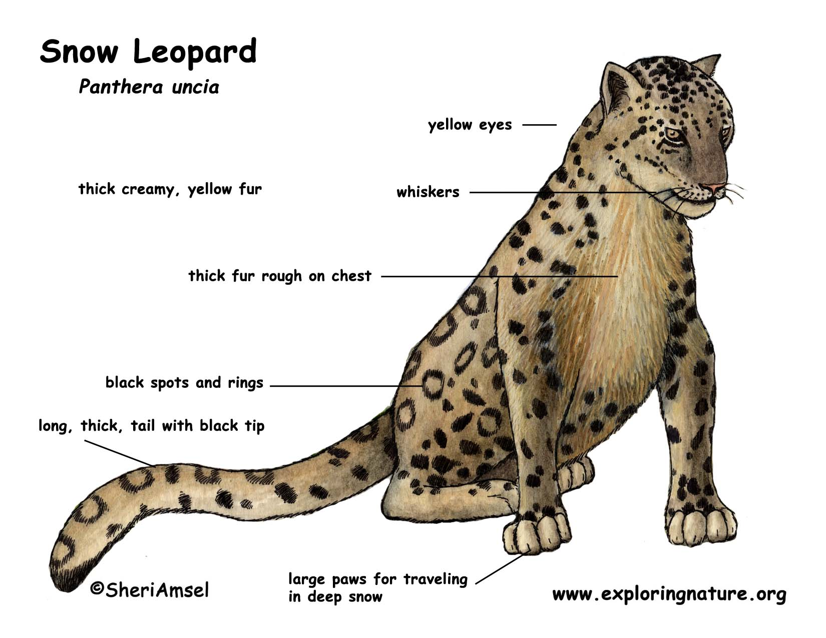 snow leopard color diagram jpg