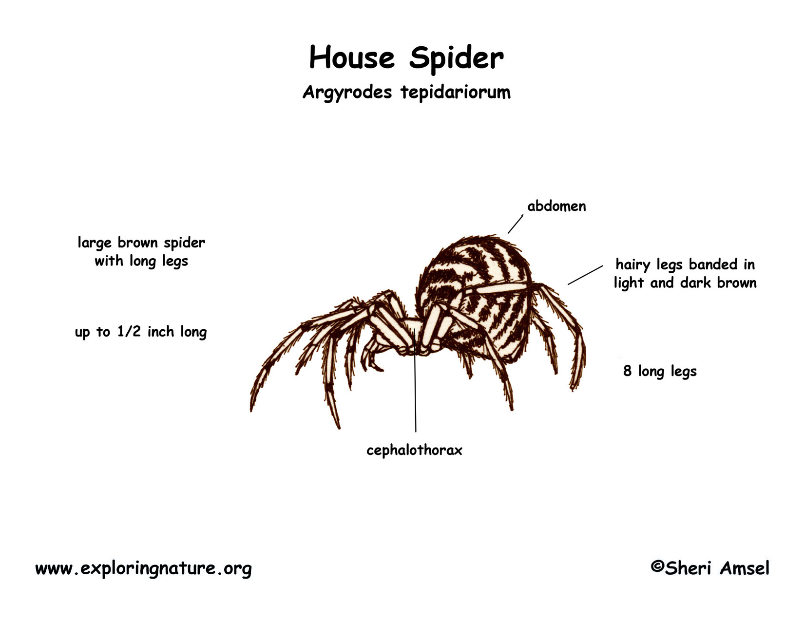 spider arthropoda diagram wiring block diagram Arthropoda Grasshopper spider (house) wolf body parts diagram spider arthropoda diagram