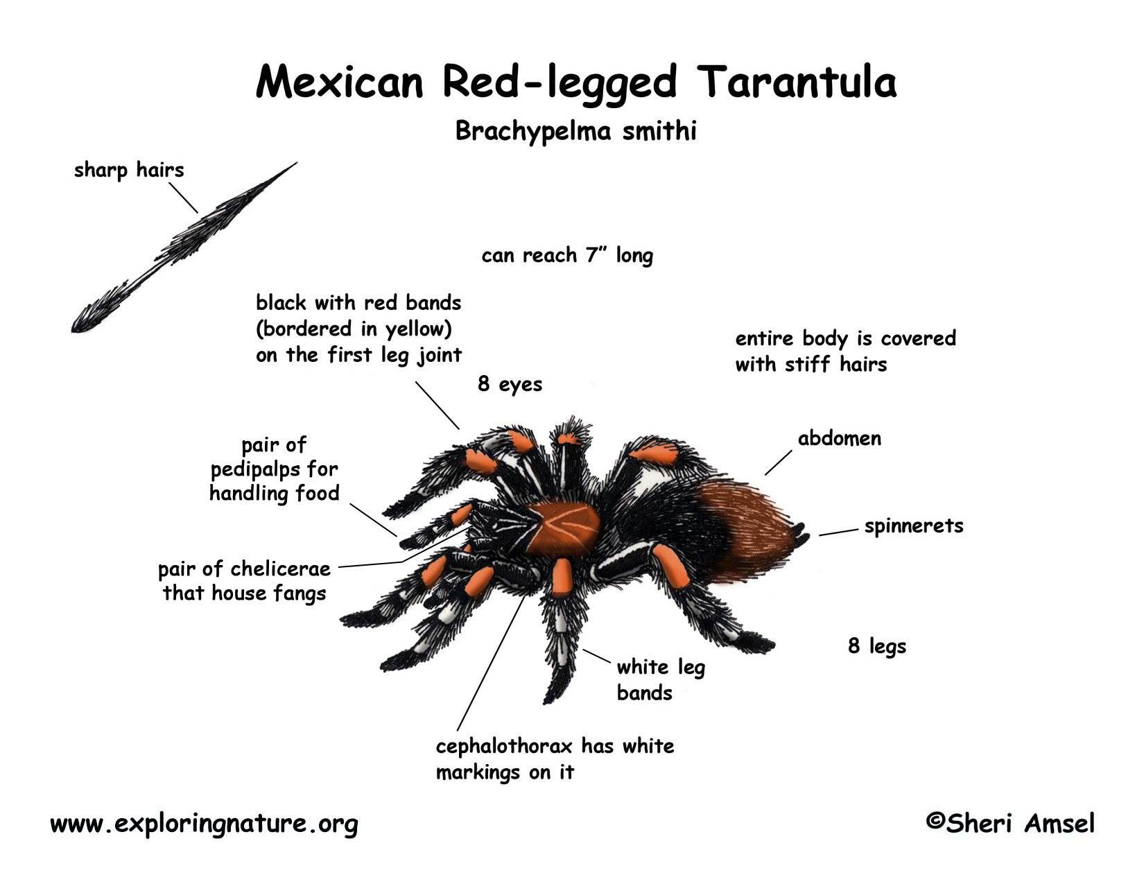 Tarantula (Mexican Red-legged)