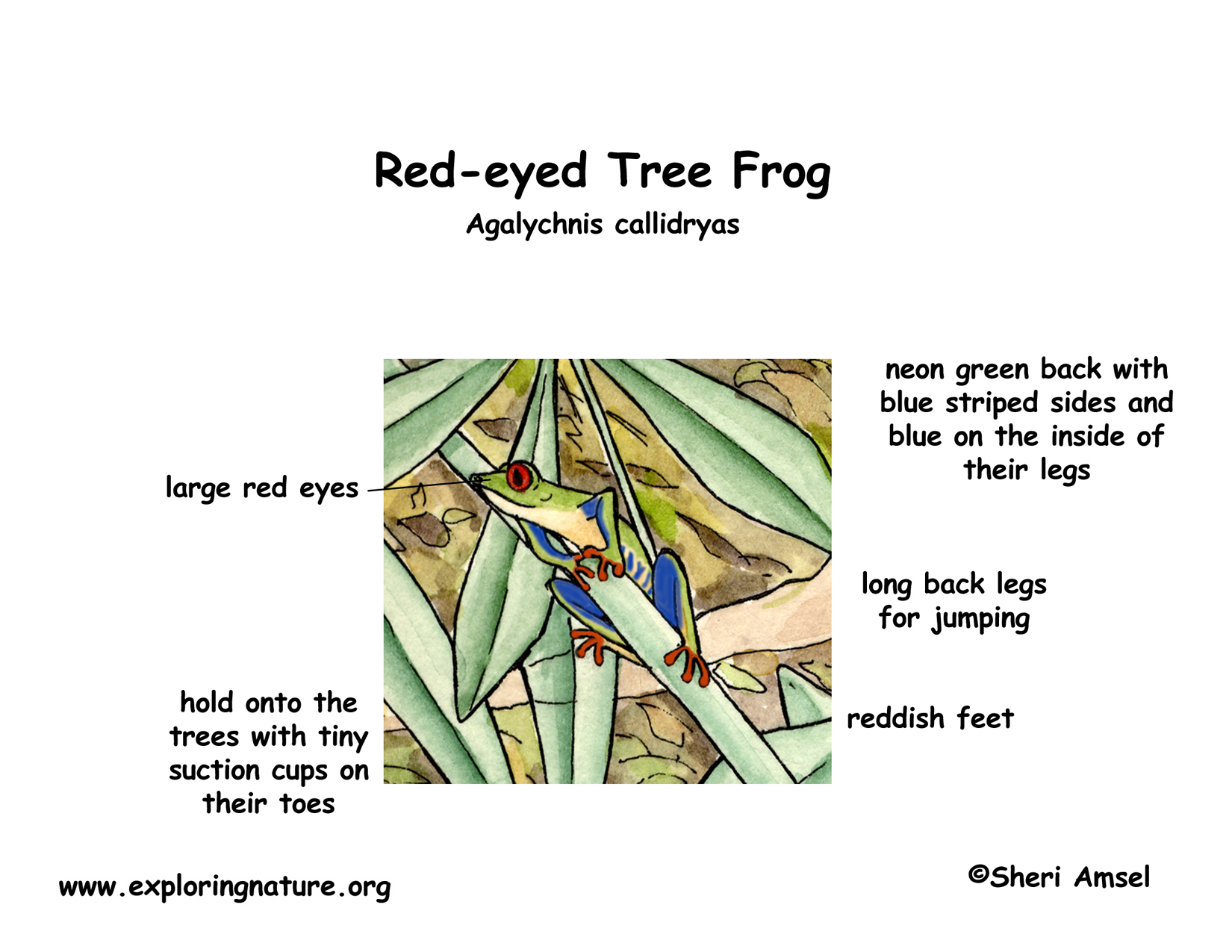 Frog (Red-eyed Tree)