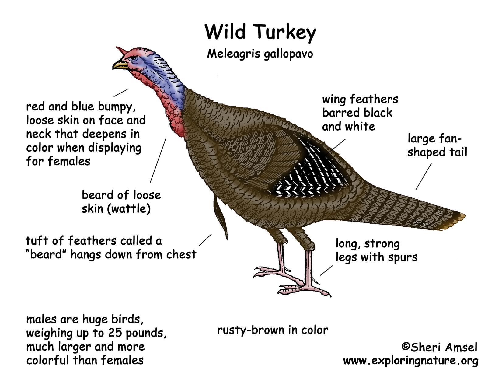 how to draw a wild turkey
