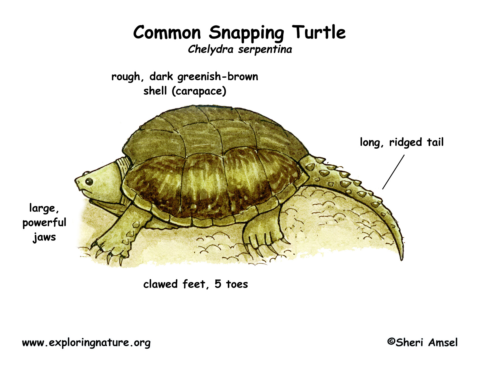 Turtle (Common Snapping)
