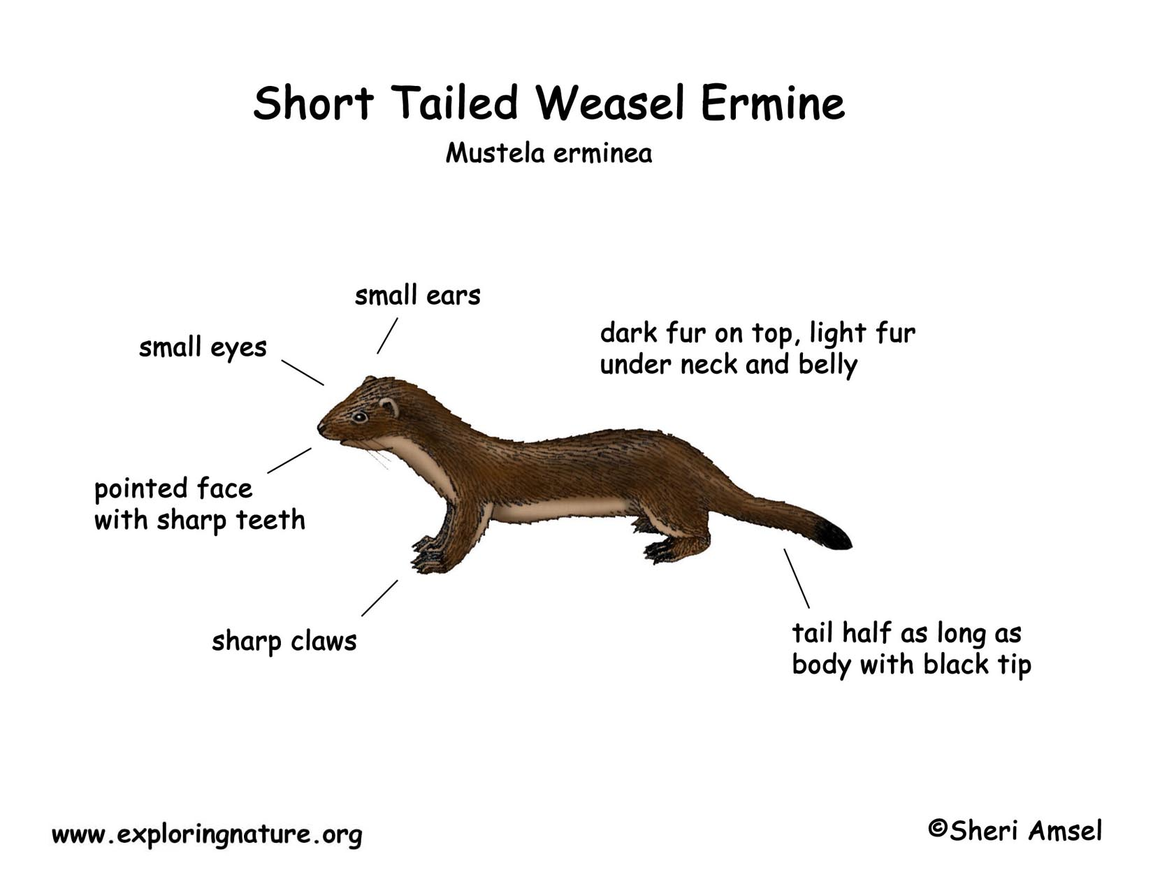 Weasel Short Tailed Or Ermine
