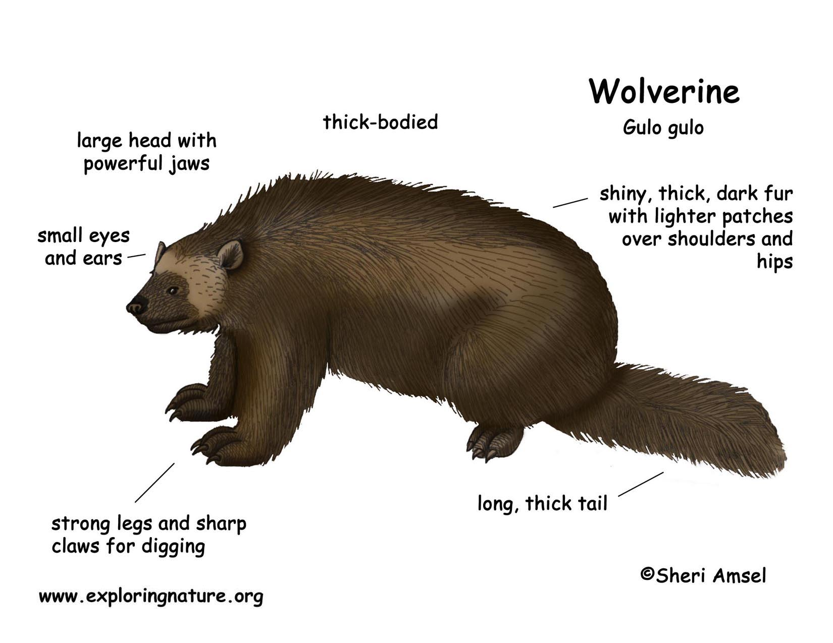 Download Hi Res Color Diagram Wolverine