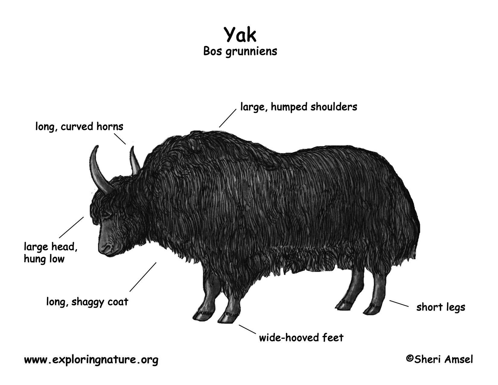 Coloring pages yak - Download Hi Res Color Diagram Yak