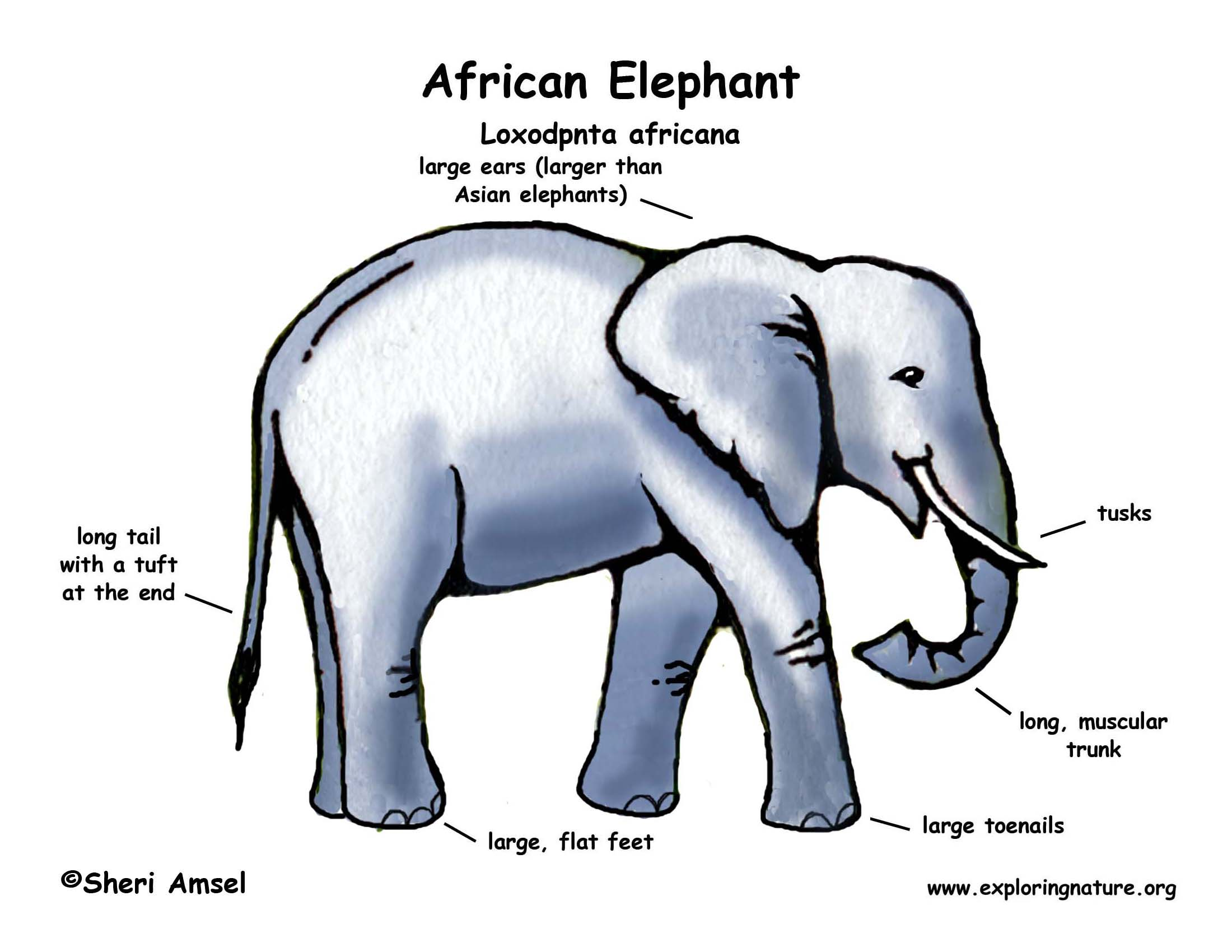 Elephant Skeleton Diagram http://exploringnature.org/graphics/color_diagram_new/