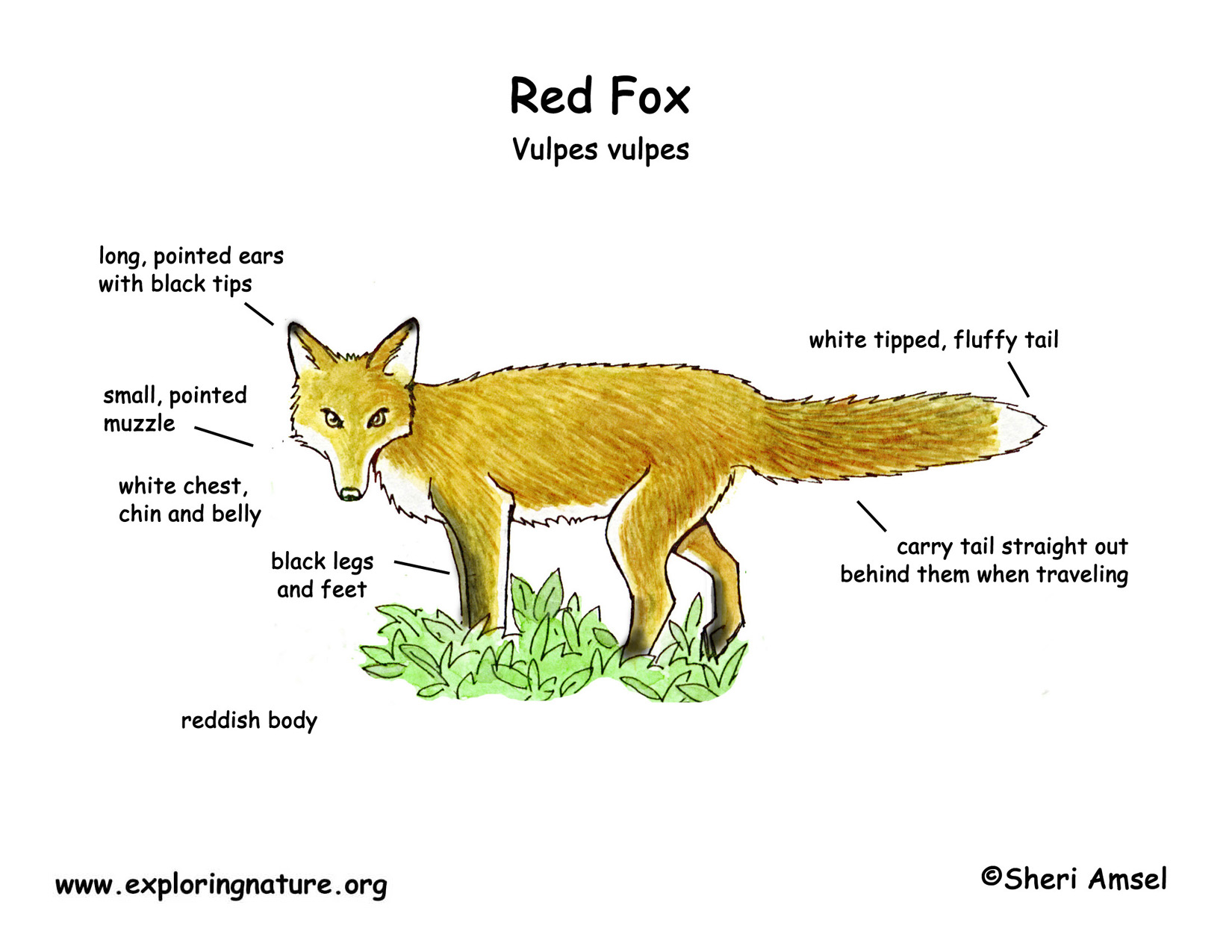 Explore Red Fox Classification Todays Homepage