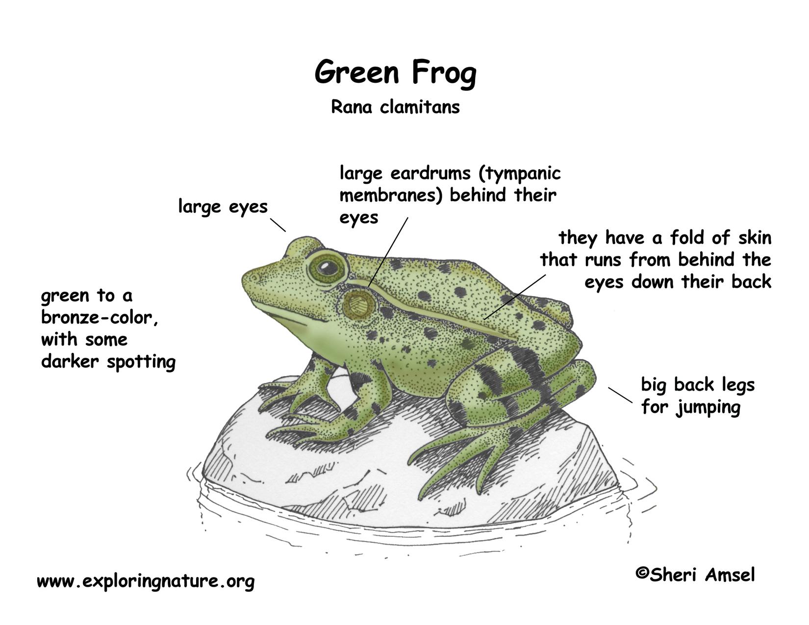 living things: process amphibian diagram #8