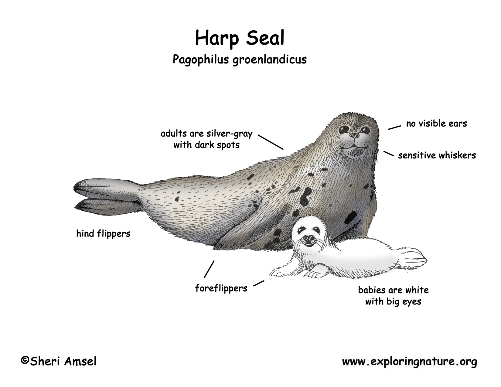 how to draw a harp seal
