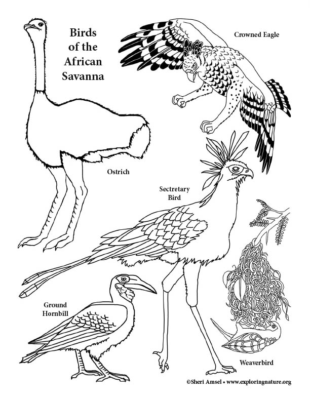 Birds of the African Savanna Coloring Page