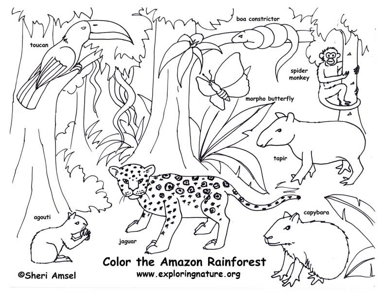 Rainforest Animals Colouring Pictures : Rainforest (Amazon) Coloring Page Exploring Nature Educational Resource