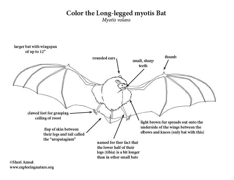 Long-legged myotis Bat Coloring Page