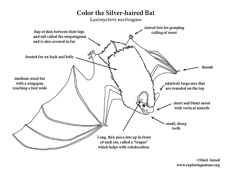 Bat (Silver-haired) Coloring Page, Silver-haired Bat Coloring Page