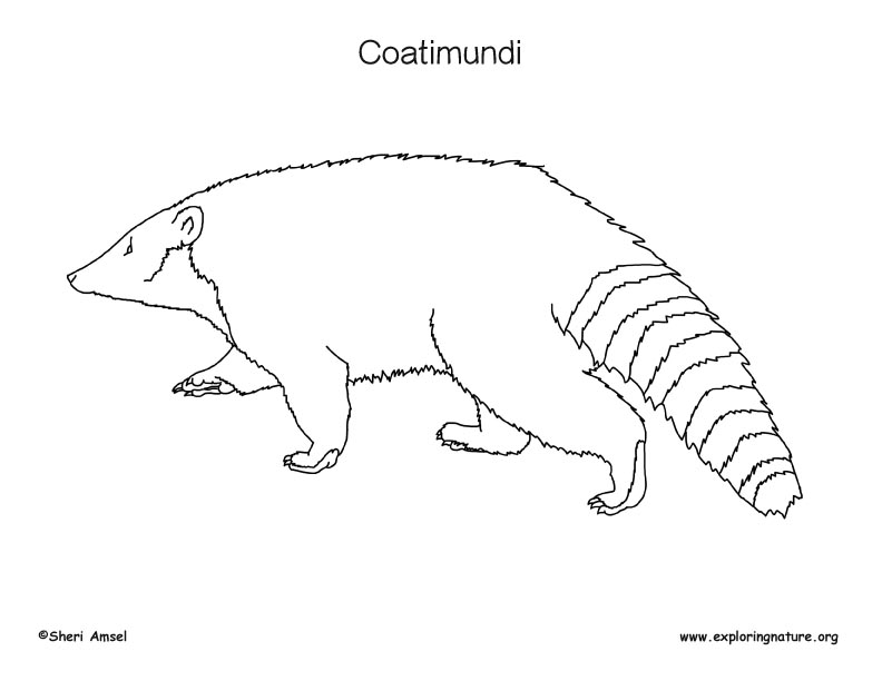 Coatimundi Coloring Page