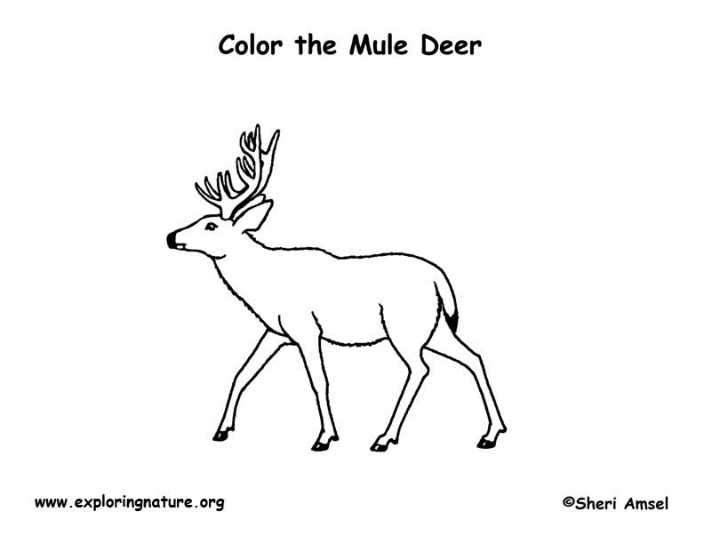 deer  mule  coloring page