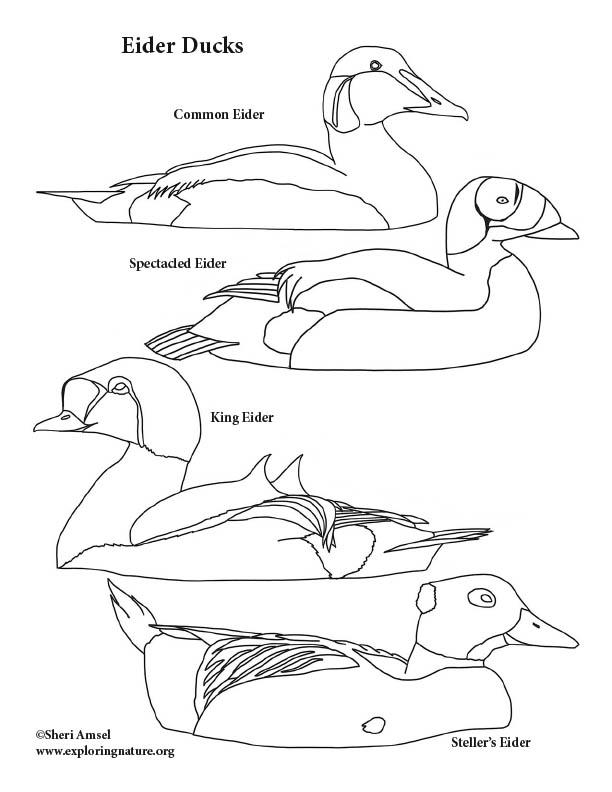 Eider Ducks Coloring Page, King eider, spectacled eider, stellers eider