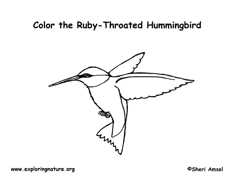 Small Coloring Pages Hummingbirds